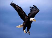 eagle full flight