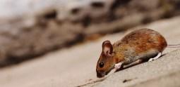 mice inside a home