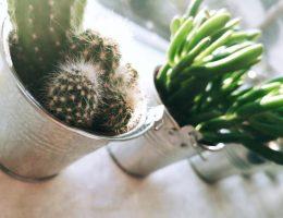Cactussen & Vetplantjes