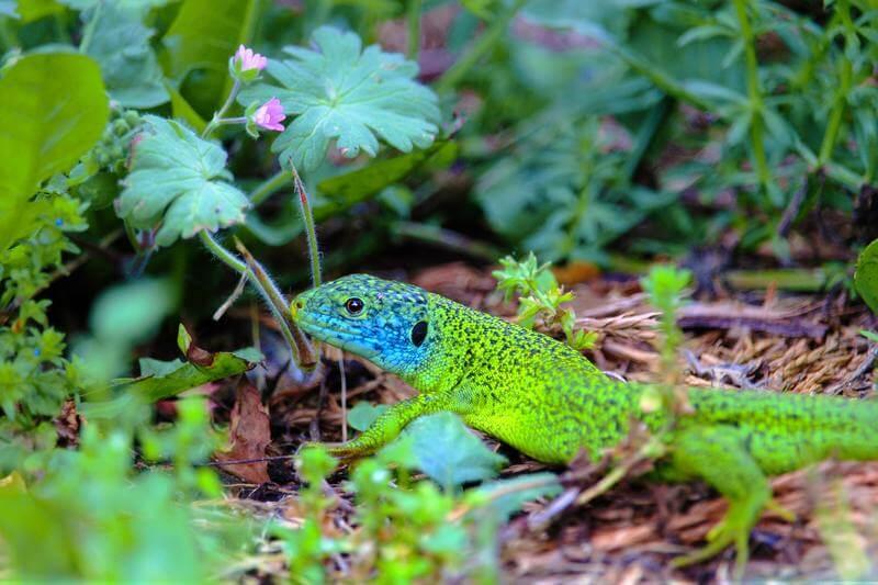 Les arrhes vertes et bleues