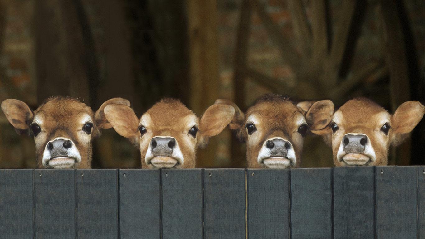 wp3623540-calf-wallpapers