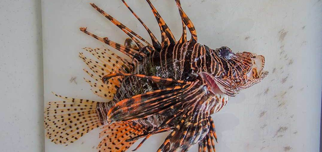 The Lionfish Invasion of Belize