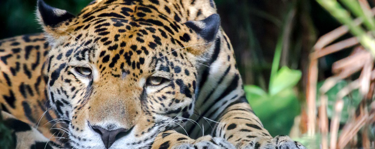 What the Maya Forest Corridor Means for Belize's Jaguars – And Ourselves