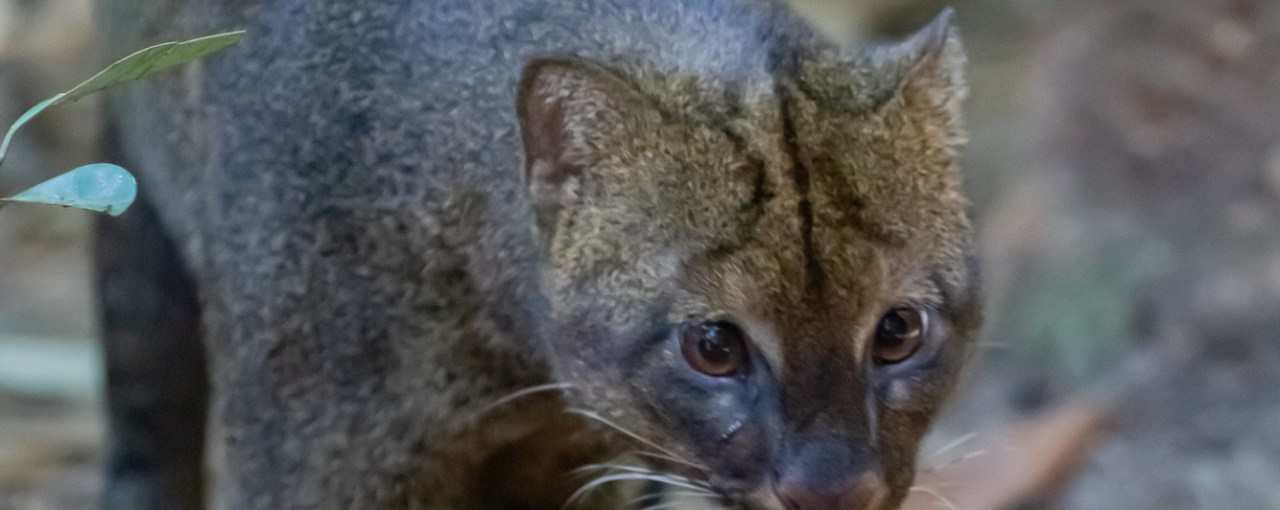 Jaguarundi: The Otter Cats of Belize