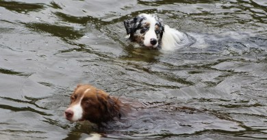 rescue dog rescues dog after falling in pool