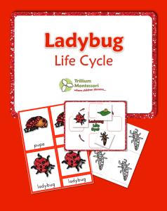 lady bug life cycle printable