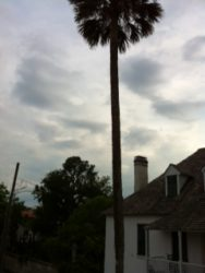 A palm tree in St. Augustine, Florida