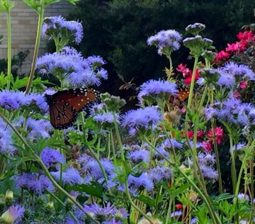 acu-butterfly