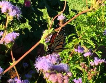 augusta-butterfly-1