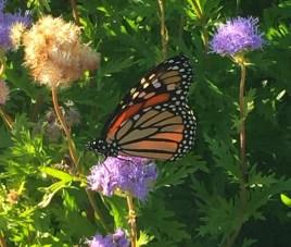augusta-butterfly-10