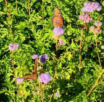augusta-butterfly-6