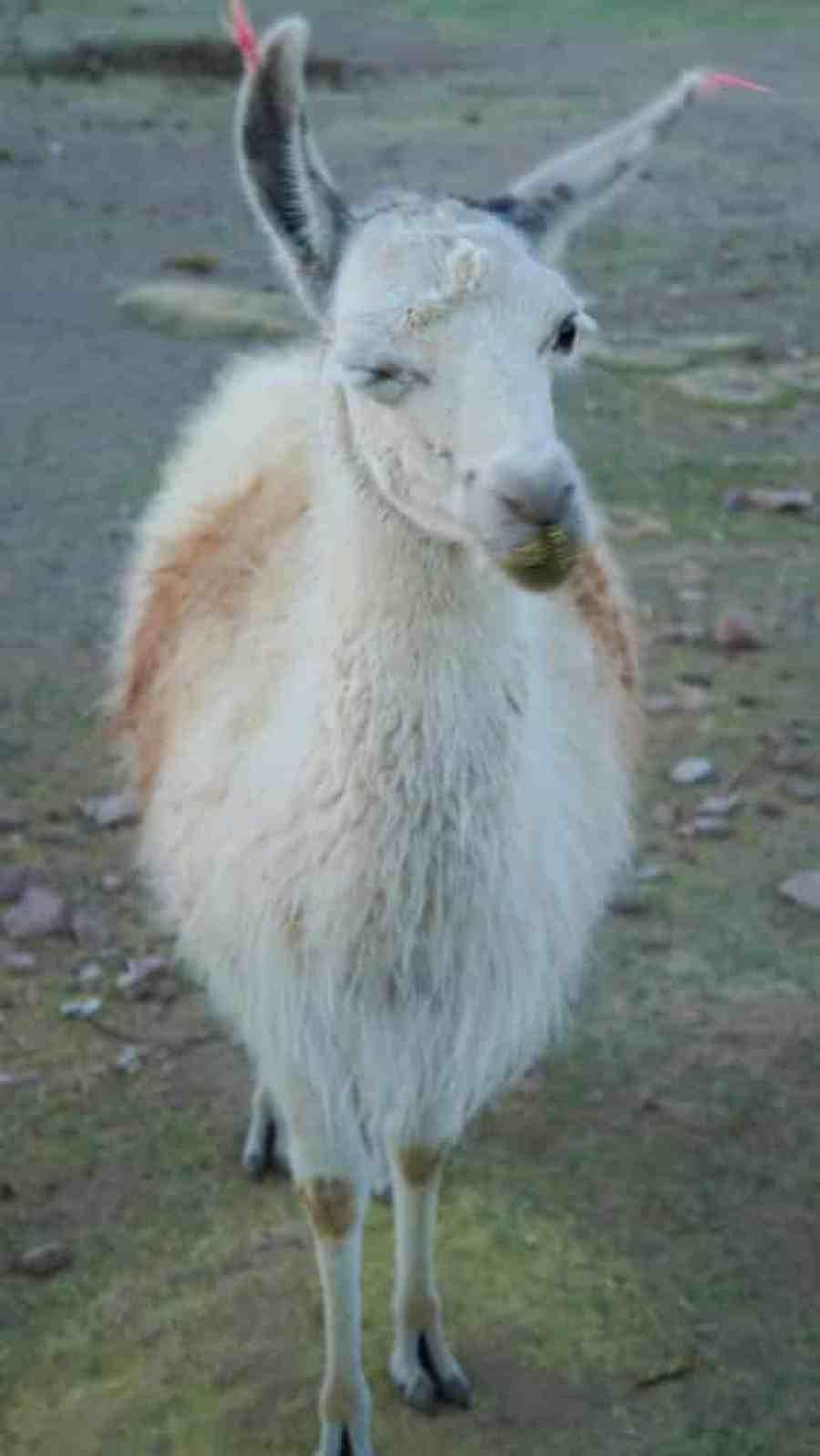 Bolivia Salt Flat Tour to Salar de uyuni. Llama