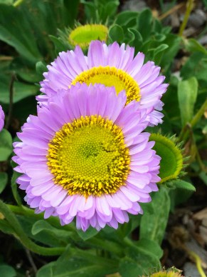 Flowers in Point Pinos California