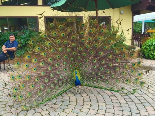 Casa de Fruta Peacocks