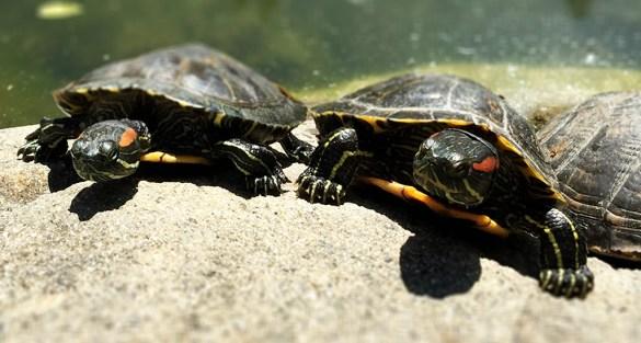 Casa de Fruta Turtles