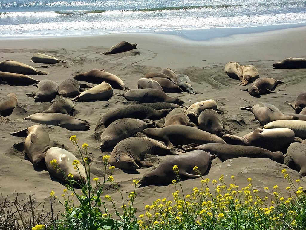 Elephant Seals Big Sur Coastline