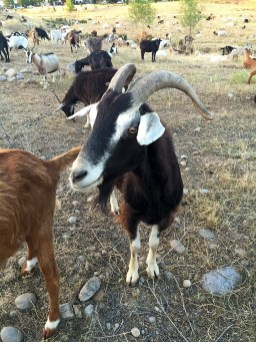 Rocklin Using Goats for Fire Reduction
