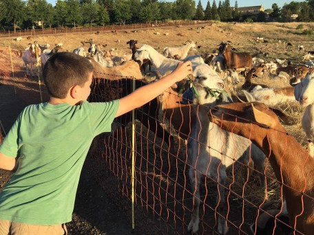 Kids Feeding Goats