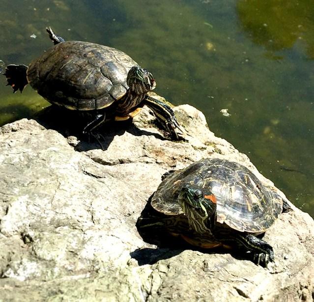 Kids love watching lots of turtles climb the rocks at Casa de Fruta