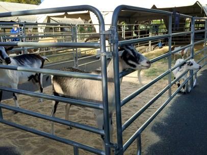 Ringling Bros Circus Goats