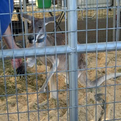 Circus Animal Meet and Greet With Ringling Bros Kangaroo