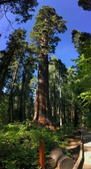 Sierra Redwood Trees