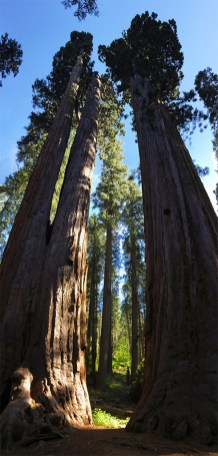 The Siamese Twins Giant Redwood Trees