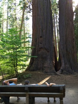 Viewing Mother and Son Sequoia Trees