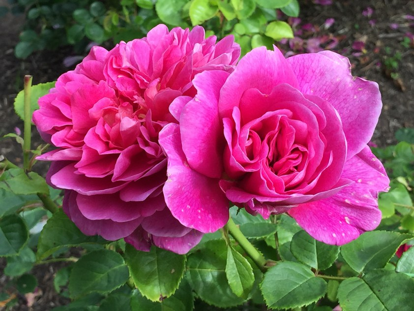 Fuschia Roses at the San Francisco Golden Gate Park Rose Garden