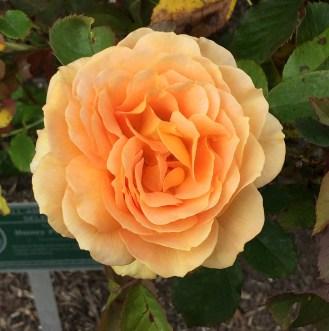 Peach Rose at the Rose Garden in Golden Gate Park