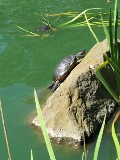 Stow Lake Turtles