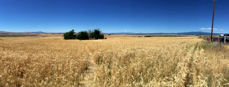 Goldendale Hay, Wheat, and Alfalfa