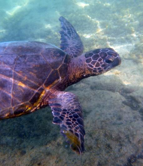 Sea Turtles at the Hilton Waikoloa Village