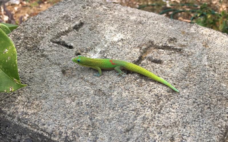 Hawaiian Green Lizard