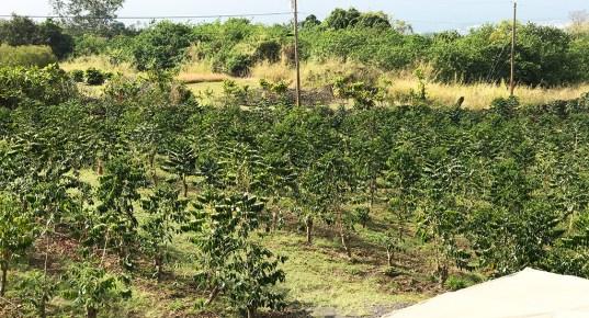 Kona Coffee Trees