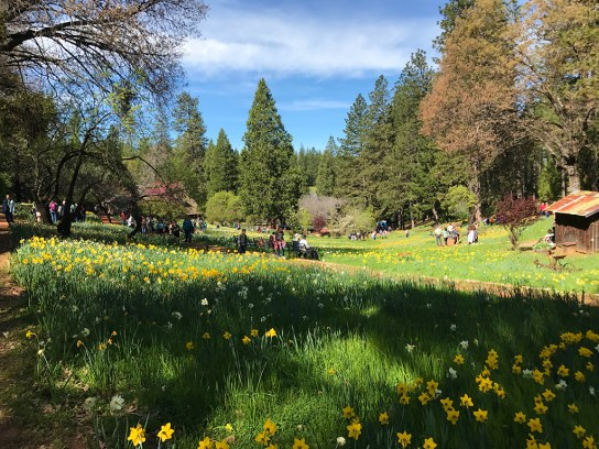 View of Daffodil Hill in Amador County