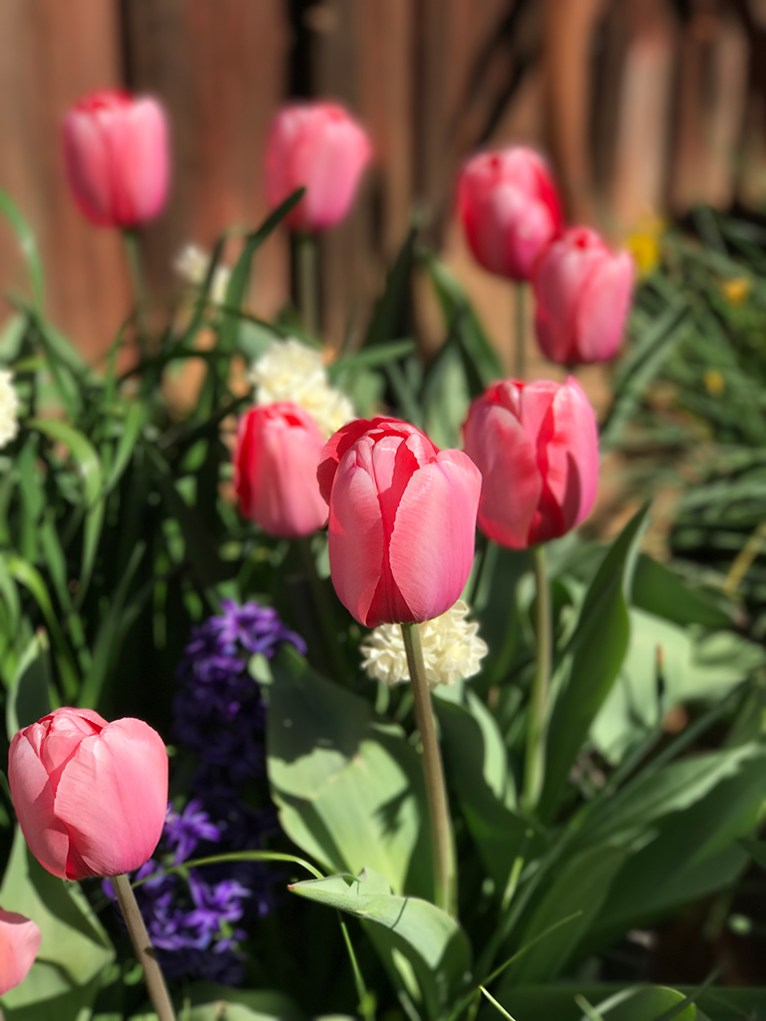 Tulips and Spring Blooms