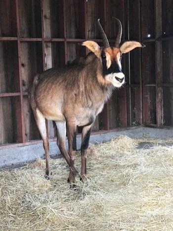 Antelope at B Bryan Preserve