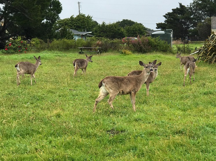 Deer grazing at Pomo Bluffs Park in Fort Bragg