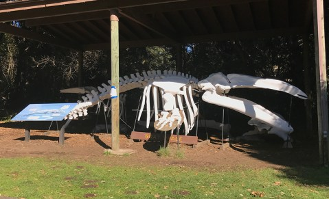 Gray Whale Skeleton at MacKerricher State Park Picnic Area