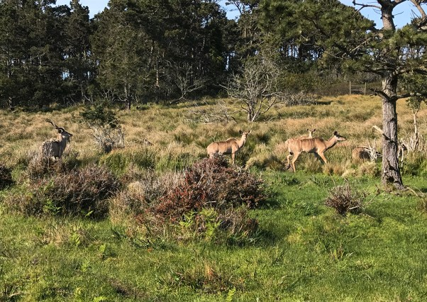 Greater Kudu at B Bryan Preserve