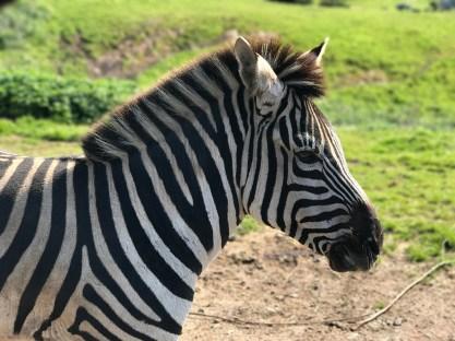 Hartmann's Mountain Zebra Living In Northern California
