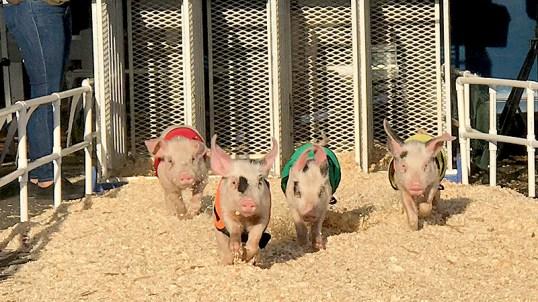 Sacramento County Pig Races