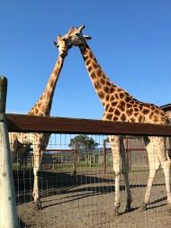 Giraffes Near Fort Bragg and Mendocino, California