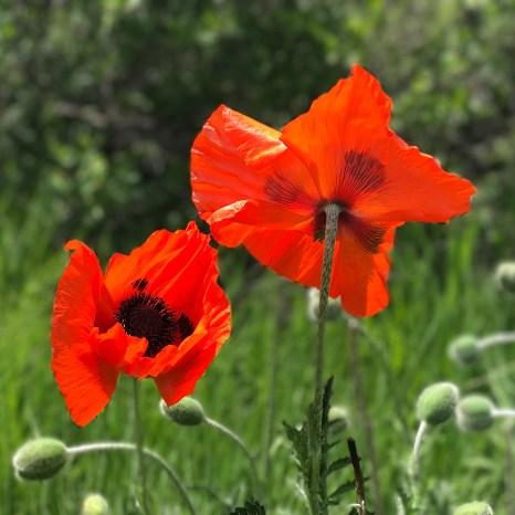 Wildflowers in Boulder, Colorado