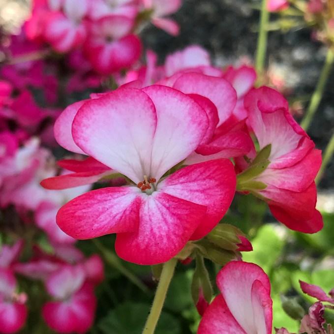 Folsom Summer Flowers