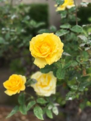 Yellow Roses at Mission Santa Clara