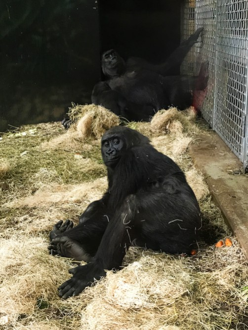 See Gorillas at Chicago's Lincoln Park Zoo