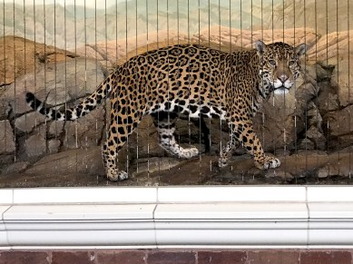 See a Jaguar at the Free Lincoln Park Zoo