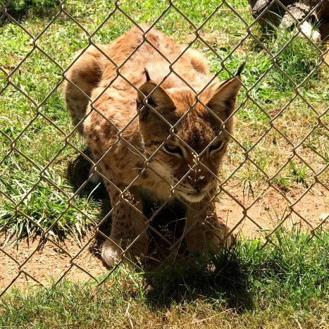 Liberian Lynx at Great Cats World Park